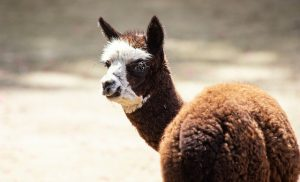 Alpaca Huacaya: Breed Overview