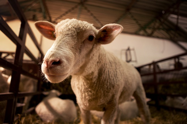 Sheep Care: Instructions, Tips
